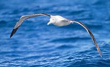 220px-Diomedea_exulans_in_flight_-_SE_Tasmania